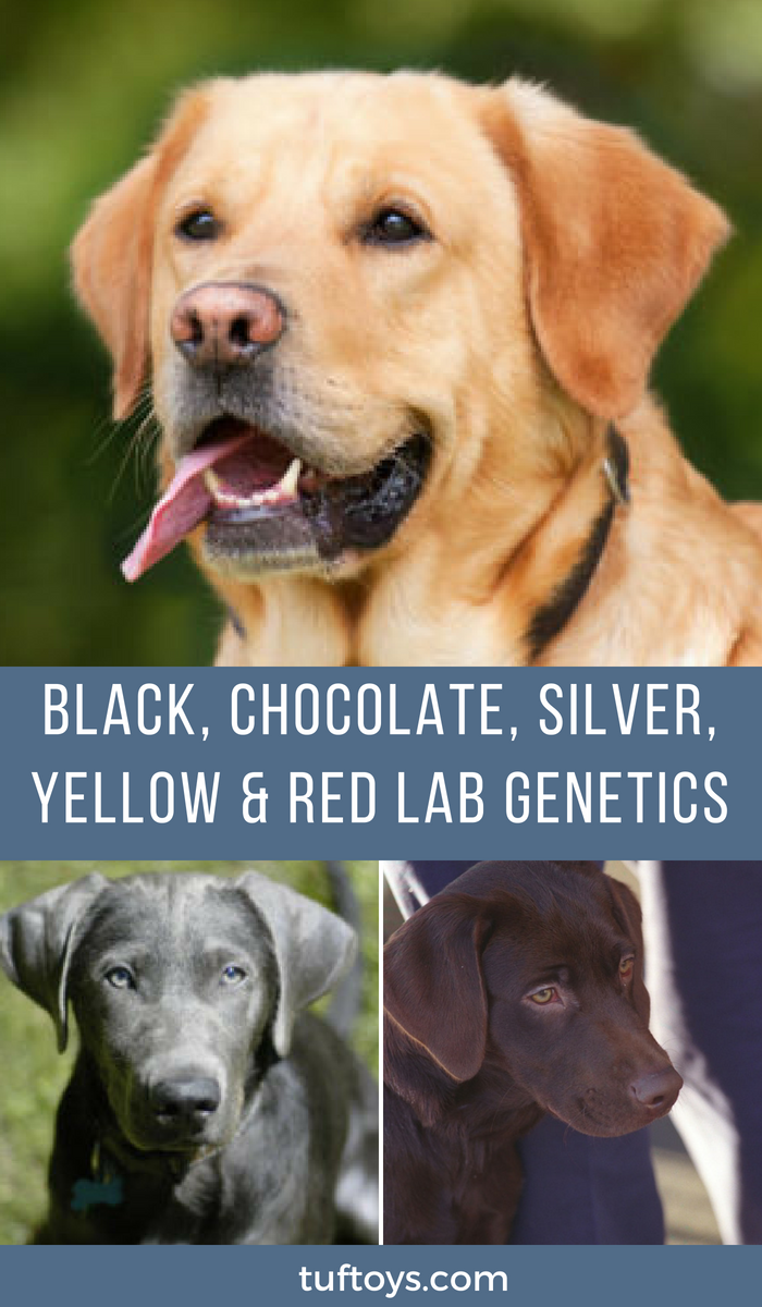 How does genetics determine whether labs are black, chocolate, silver or yellow?