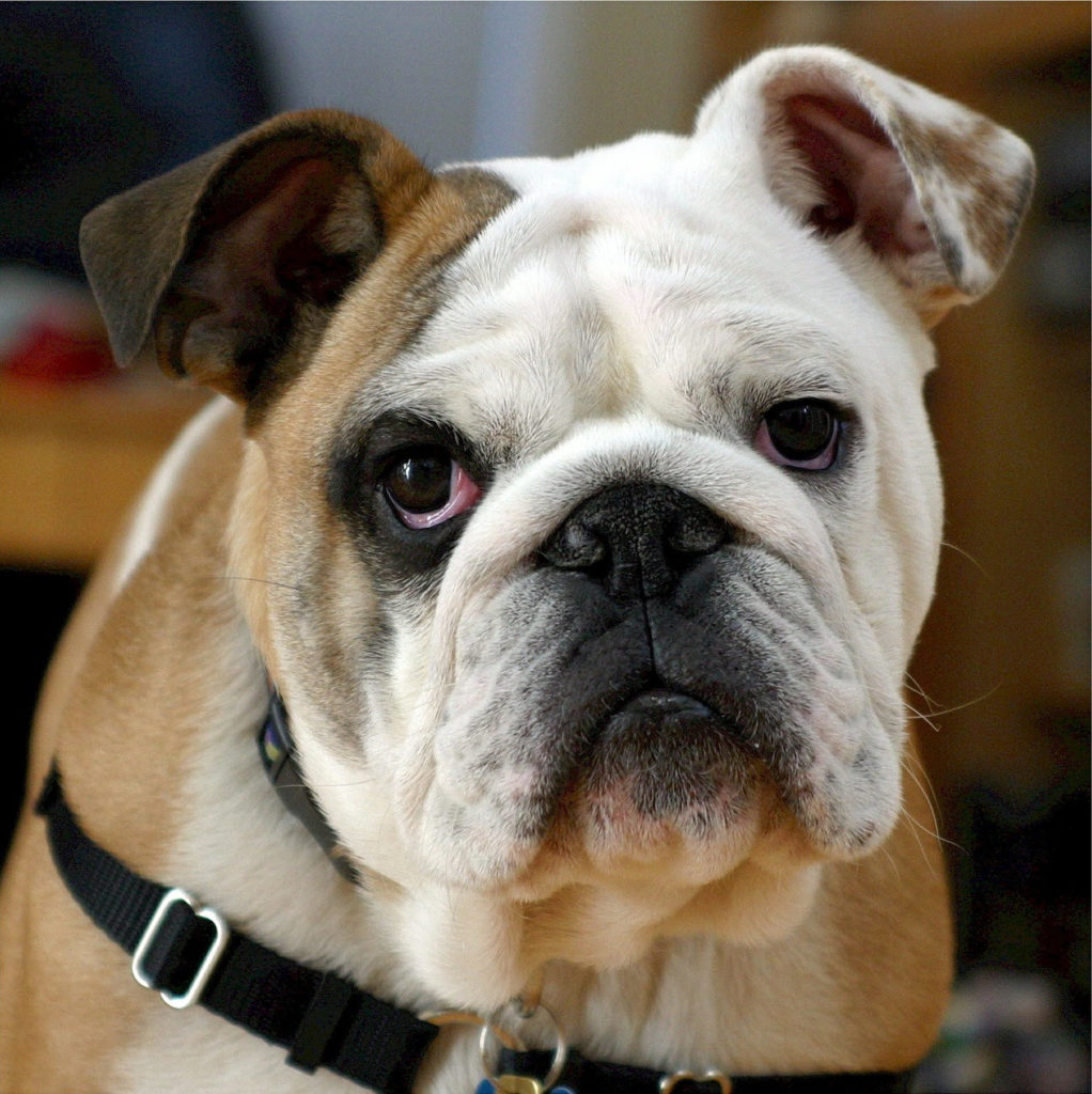 Bulldog - most popular medium size dog