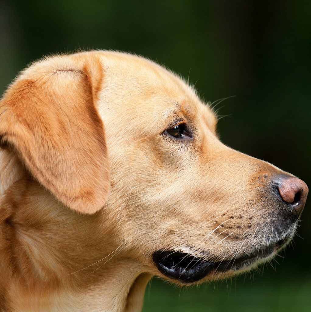 Labrador - most popular large dog breed