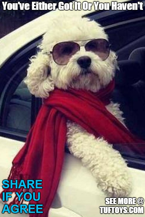cool picture of poodle with head out of a car window looking very stylish