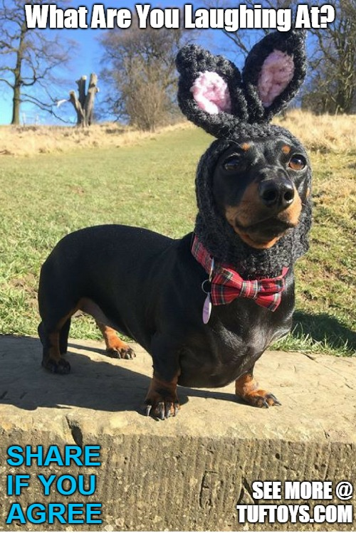 funny pic of a dachshund wearing some kind of black bunny rabbit hat with pride