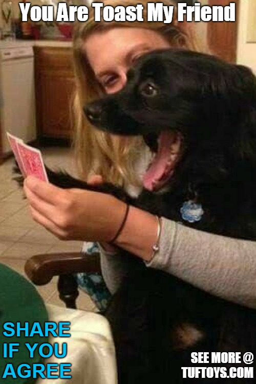 funny pic of black labrador with little grasp of the concept of playing cards poker faced