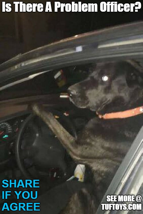 funny picture of a black lab being pulled over by the police while in the drivers seat