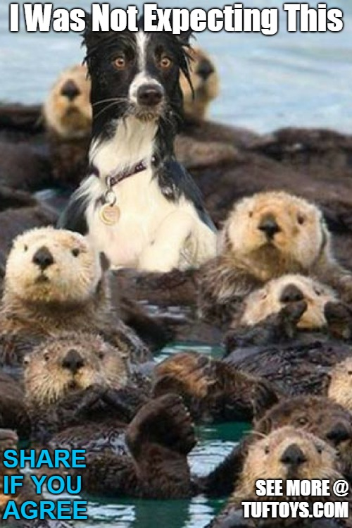 funny picture of a border collie coming up for air and unexpectedly finding a raft of beavers