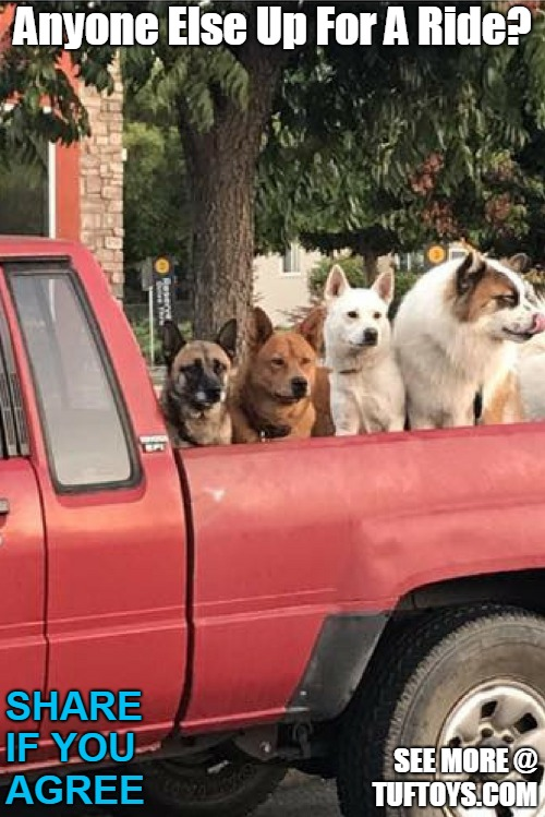funny picture of four dogs waiting in back of truck
