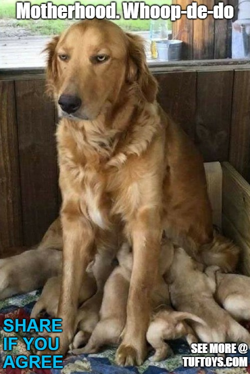 funny picture of mother labrador looking far from radiant about her new littler of puppies