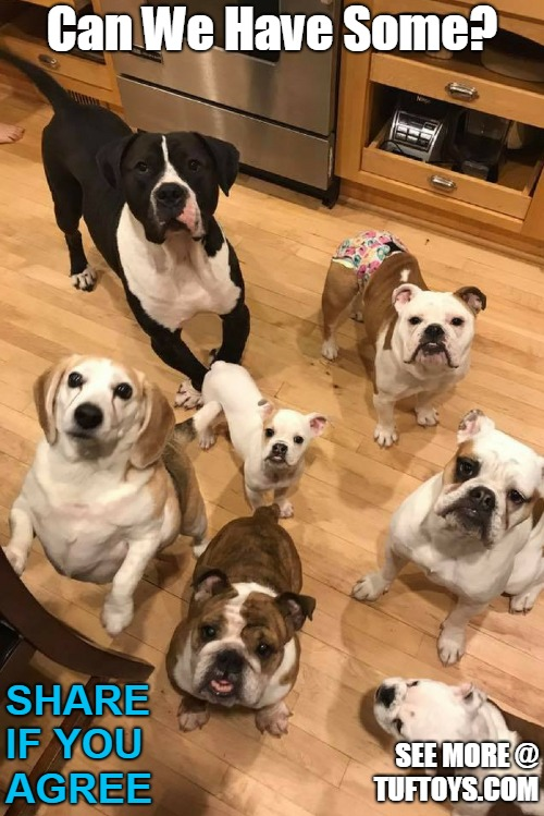 funny picture of very cute dogs looking very earnest waiting for food