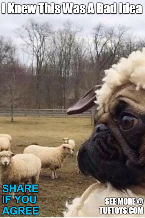 picture of a funny pug dressed up as a sheep but feeling foolish and not fooling anyone