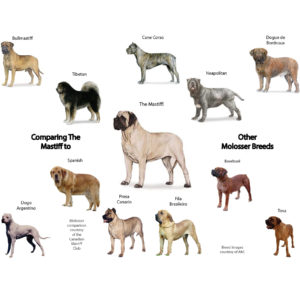 Could A Mastiff Be The Right Dog Breed