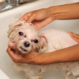 Washing_a_dog_in_a_bath