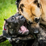 What Should You Do If A Dog Attacks You Or Another Dog?