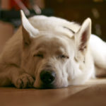 Can Dogs Sleepwalk & What Do Experts Think They Dream About?