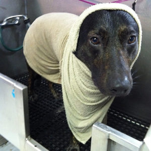 dog with coconut oil wrap