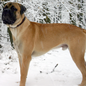 Could A Mastiff Be The Right Dog Breed For Me?